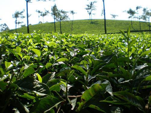 munnar-tea-estate